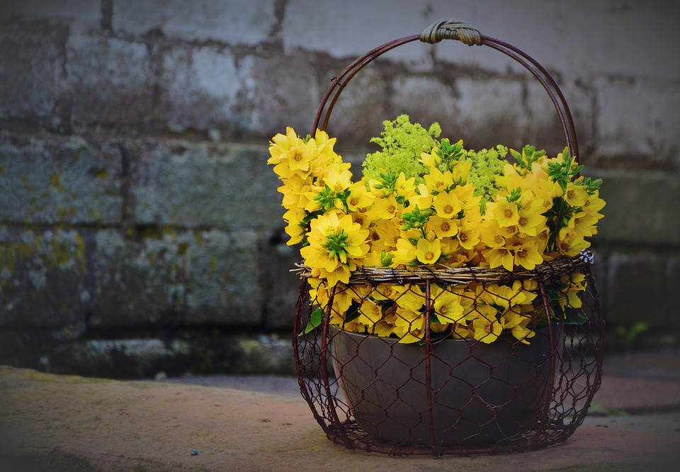 žluté květy u zdi