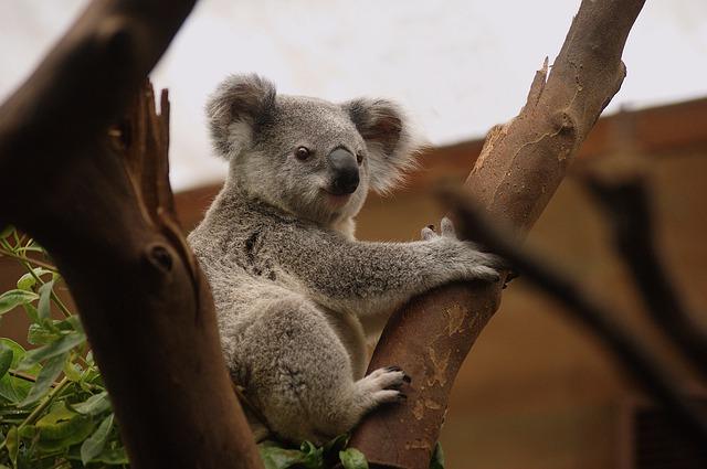 koala na stromě