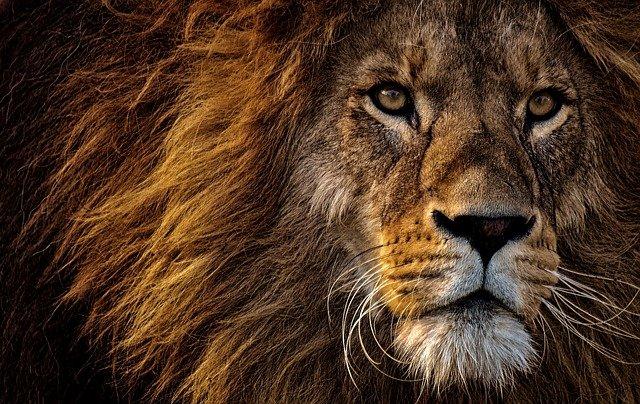 hlava starého lva