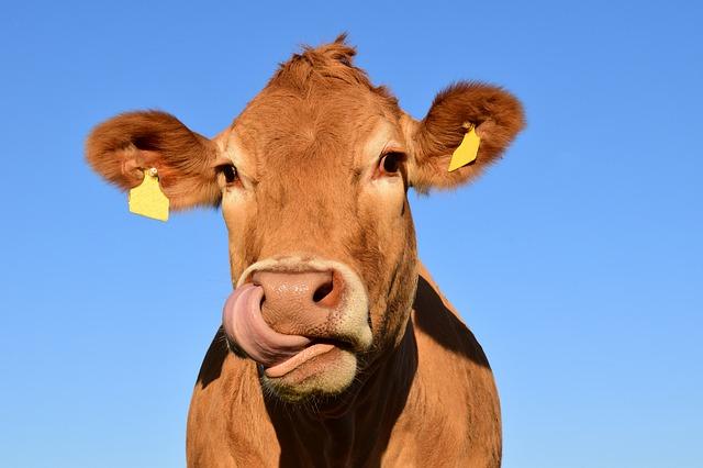 zrzavá kráva